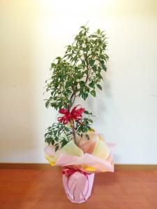 みくに園芸 ゴムの木 756x1008